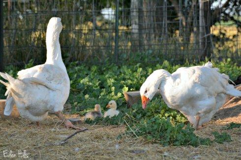 goslings_0699ews