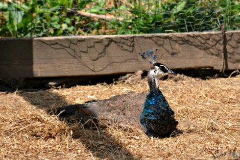 juvenile peacock_0743ews