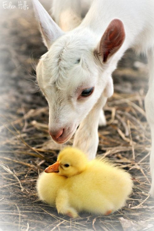 kid and gosling_8930ews
