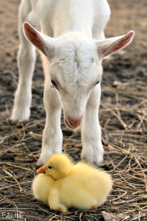 Cutie Pie and gosling