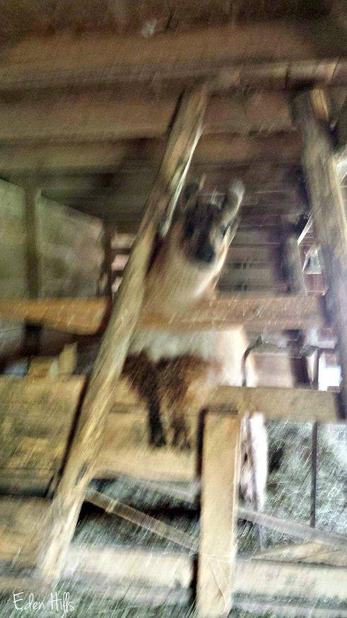 llama shearing ew