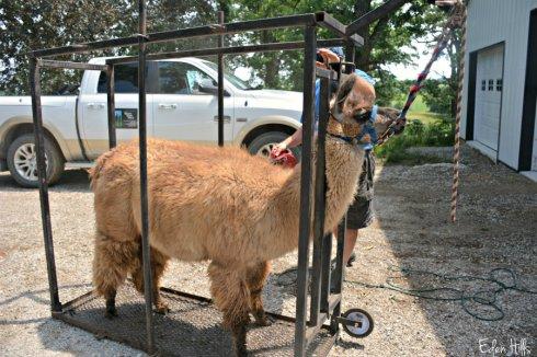 llama shearing_8796ews