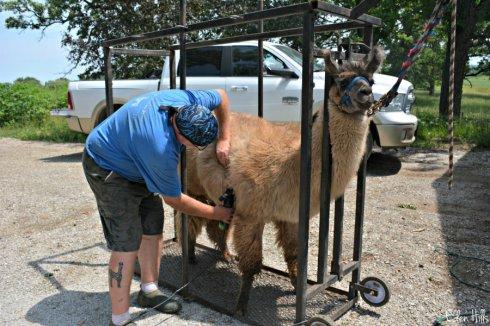 llama shearing_8799ews