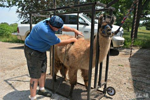 llama shearing_8800ews