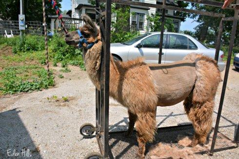 llama shearing_8804ews