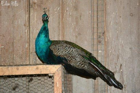 peacock_8345ews