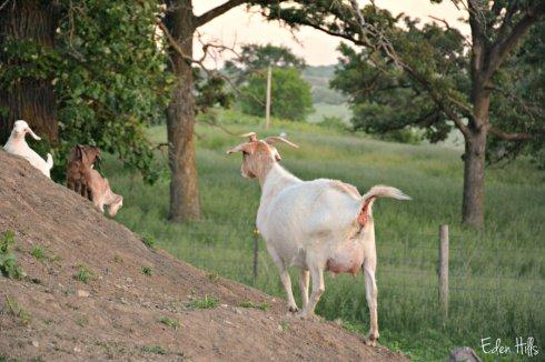 Pregnant doe_8566ews