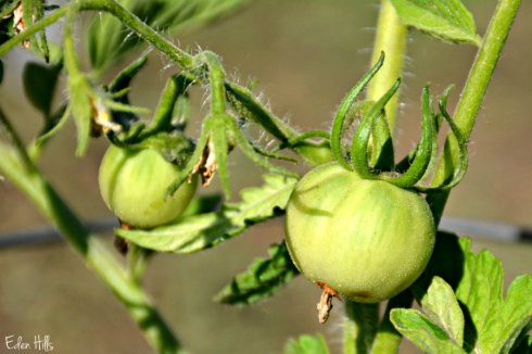 tomatoes_9541ews