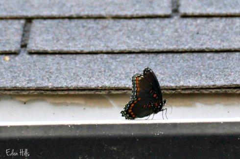 Admiral Butterfly_2888ew