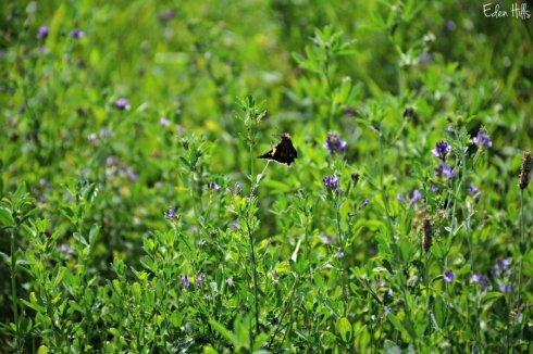 Alfalfa butterfly_3140ews