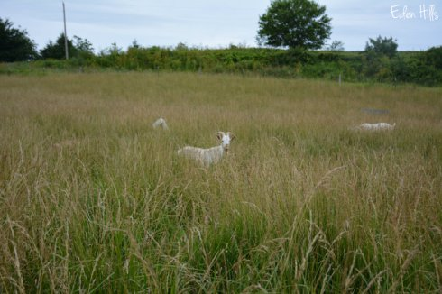 Bucks in pasture_1074ws