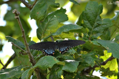 butterfly_2567ews