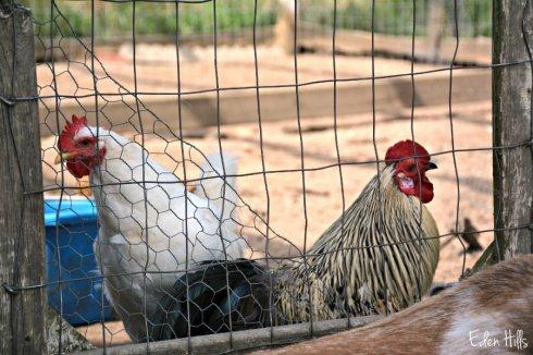 chickens_2861ews