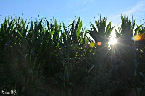 Corn_3068ews