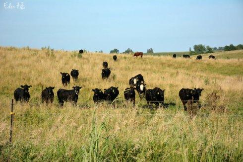 Cows_3072ews
