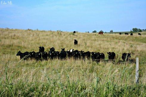 cows_3074ews