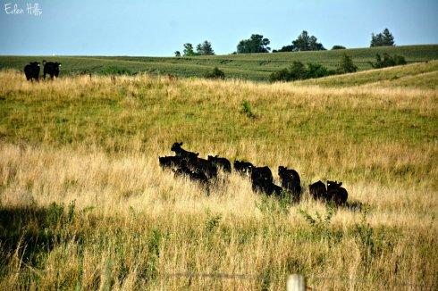 Cows_3077ews
