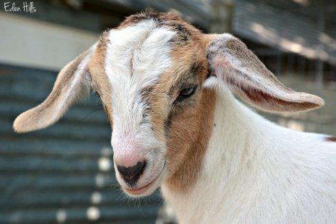Doeling Goat_1304ews