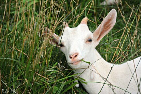 Doeling goat_2839ews