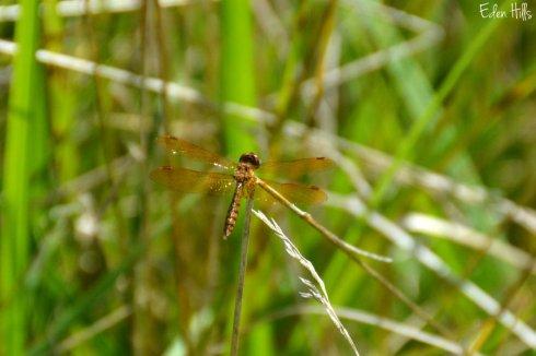 Dragonfly_2352ews