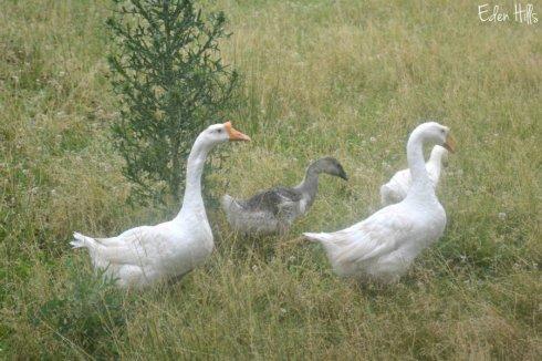 Geese_1405ews
