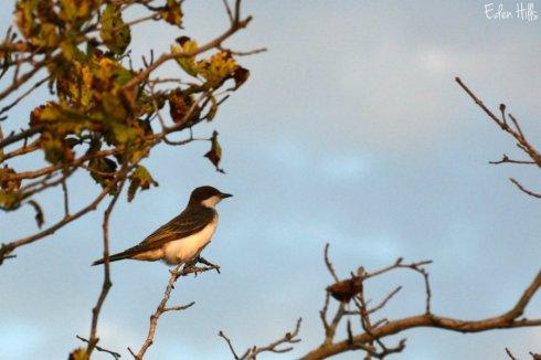 kingbird_2152ews