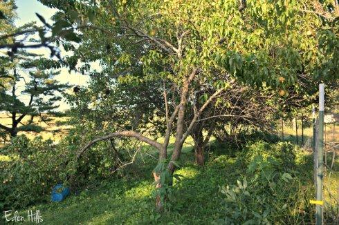 peach tree_1663ews
