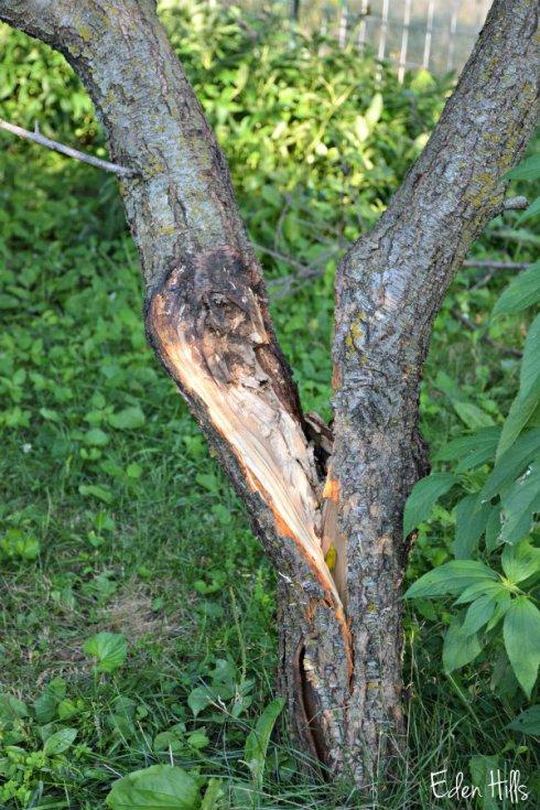 peach tree_1664ews