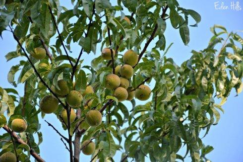 peach tree_1666ews