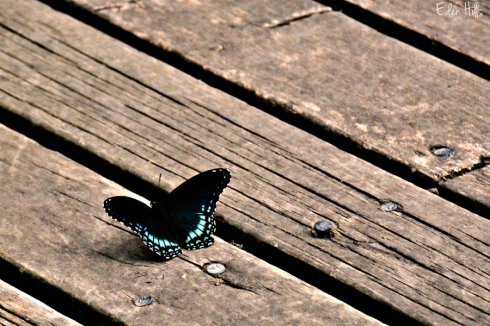 red spotted purple_2893ews