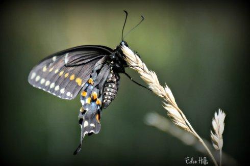 swallowtail_2523ews