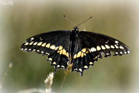 swallowtail_2533ews