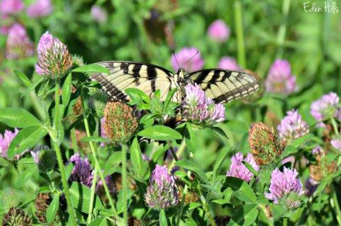 Swallowtail_3166ews