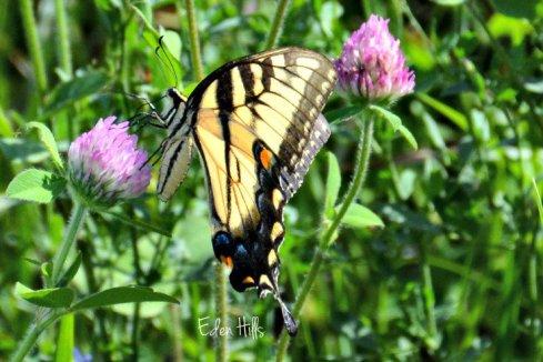 Swallowtail_3181ew