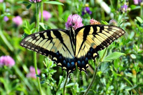 Swallowtail_3184ews