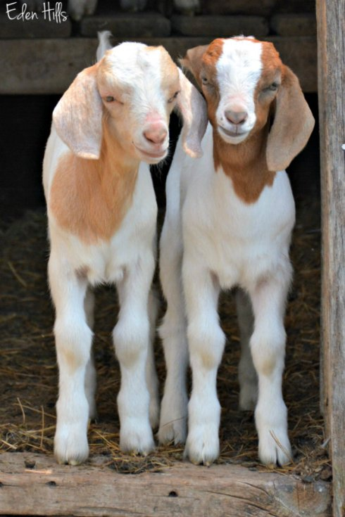 twin goat kids_2397ews