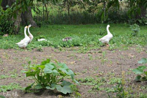 Weeder Geese_1095ews