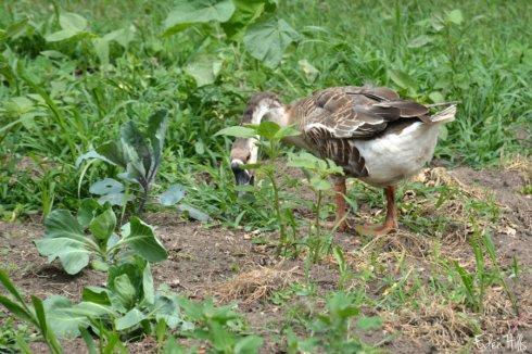 Weeder Geese_1098ews