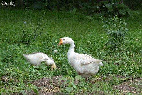 Weeder Geese_1101ews