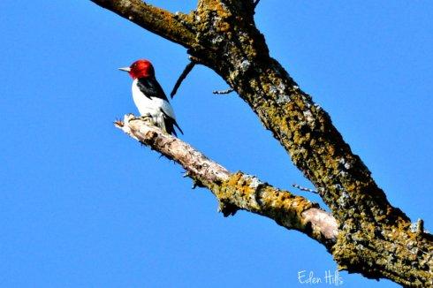 Woodpecker_1831ews