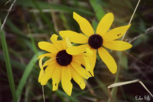 black eyed susan_4411ews