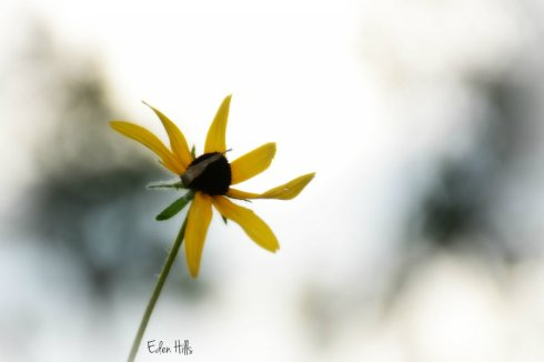black eyed susan_4415ews