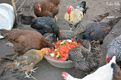 Chickens 4837ews