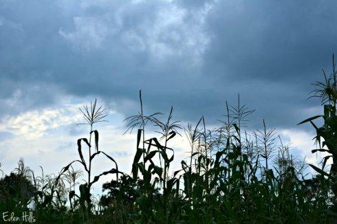 Corn tassels_4375ews