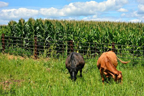 Cows_3565ews
