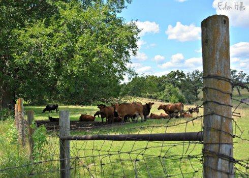 Cows_3579ews