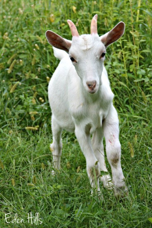 goat kid_4538ews