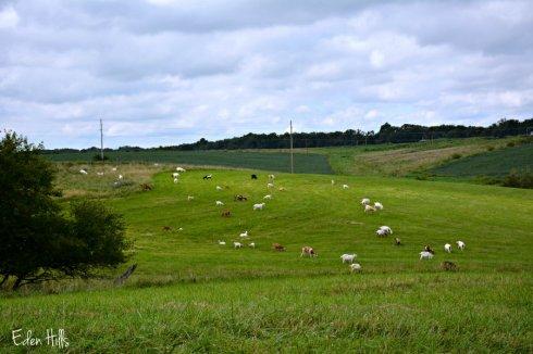 Goat Pasture 4716ews