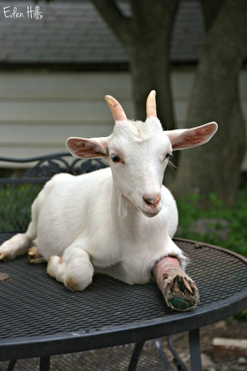 goat with splint_4354ews