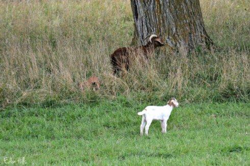 goats_3389ews
